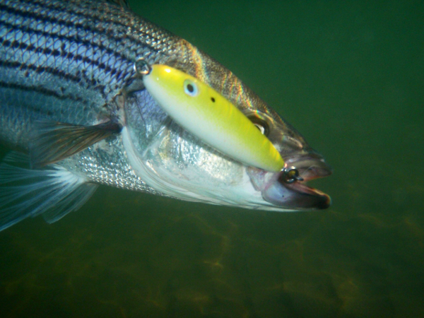 Image result for striped bass underwater photos